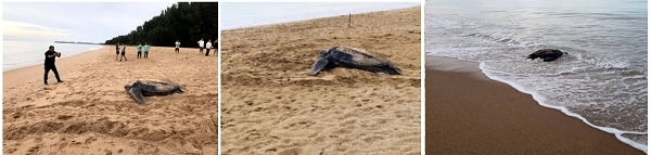 leatherback turtle recordings khao lak beach area